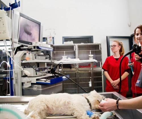 Fibroscopie chez un West Highland White Terrier qui présente un corps étranger oesophagien, VetRef, Angers