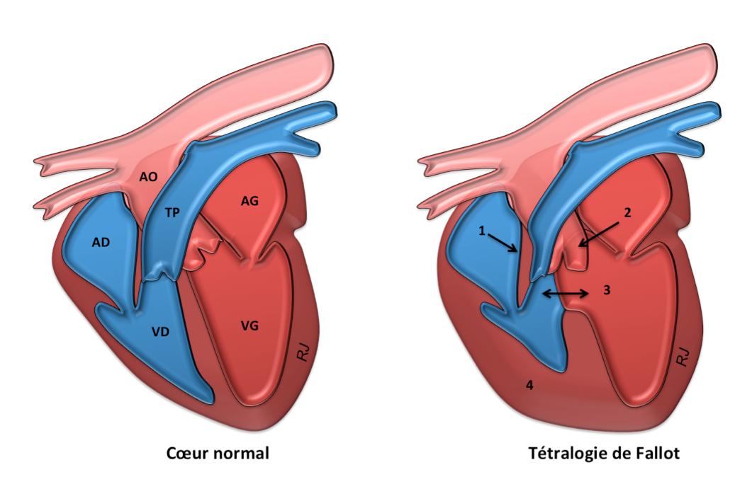 Echocardiographie Chien, Angers, VetRef, Jossier